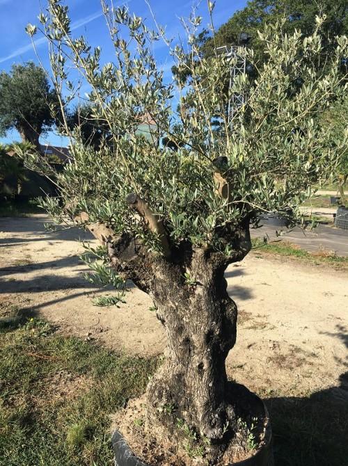 Oliviers en destockage / olivier pas cher olivier F