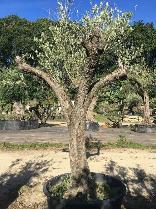 Oliviers en destockage / olivier pas cher olivier I