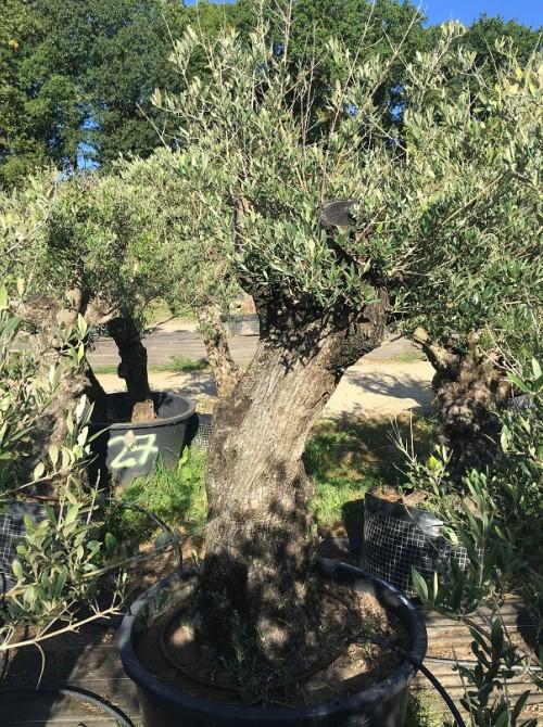 Oliviers en destockage / olivier pas cher olivier K