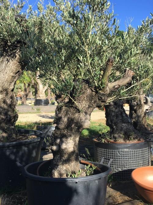 Oliviers en destockage / olivier pas cher olivier L