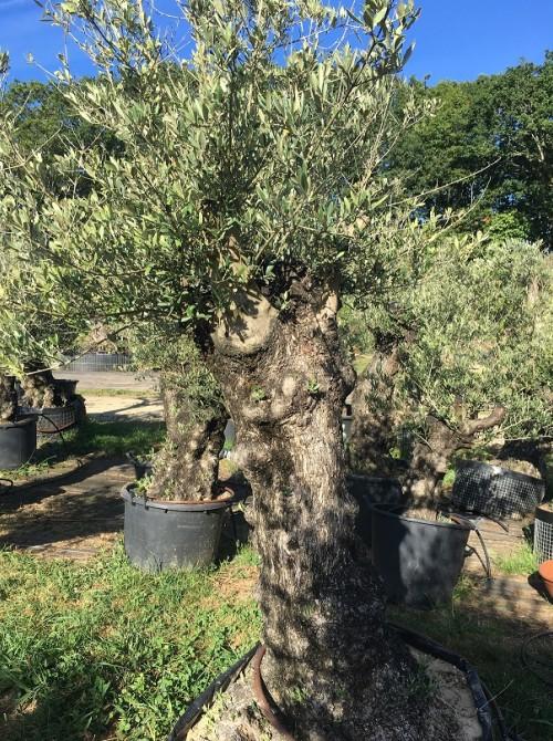 Oliviers en destockage / olivier pas cher olivier M
