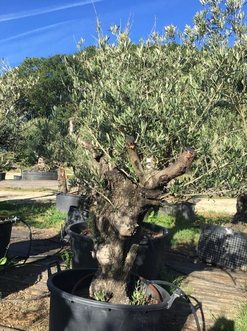 Oliviers en destockage / olivier pas cher olivier N