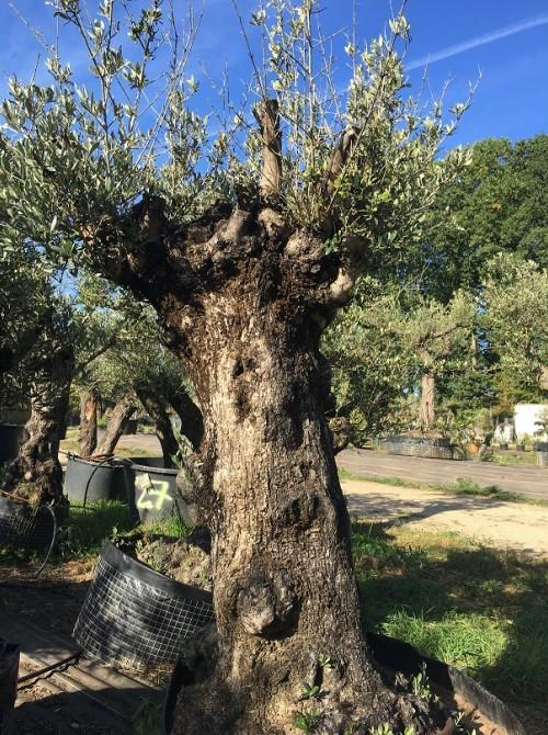 Oliviers en destockage / olivier pas cher olivier O