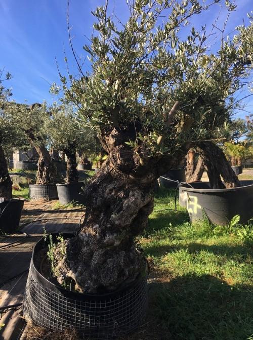 Oliviers en destockage / olivier pas cher olivier P