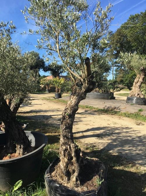 Oliviers en destockage / olivier pas cher olivier Q