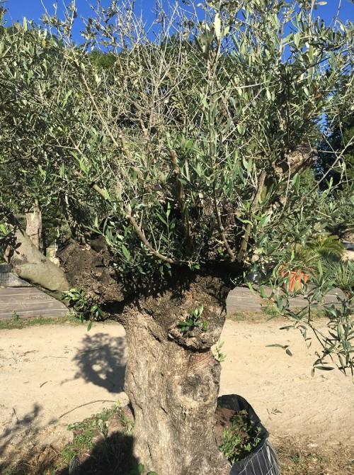 Oliviers en destockage / olivier pas cher olivier R