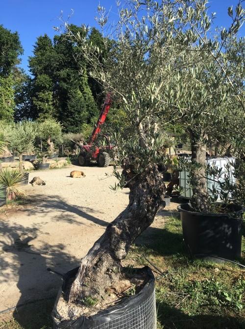 Oliviers en destockage / olivier pas cher olivier S