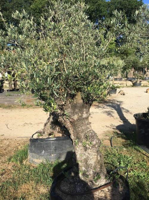 Oliviers en destockage / olivier pas cher olivier T