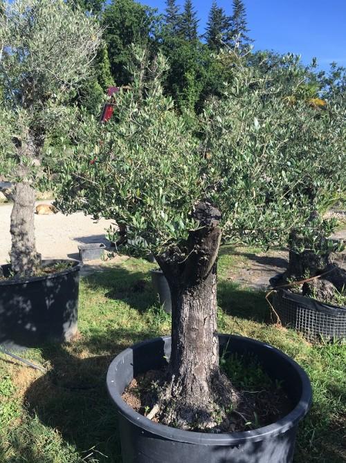 Oliviers en destockage / olivier pas cher olivier U