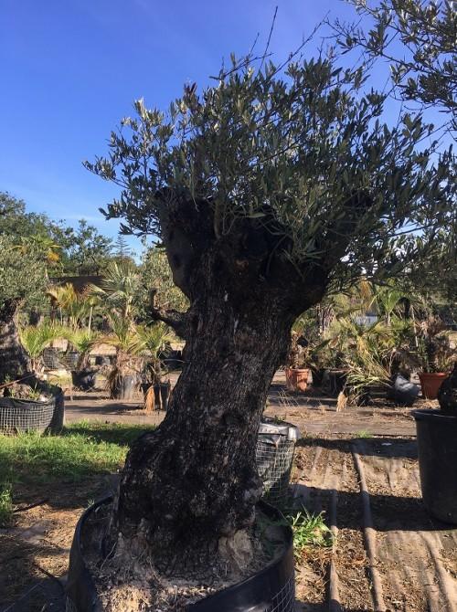 Oliviers en destockage / olivier pas cher olivier V
