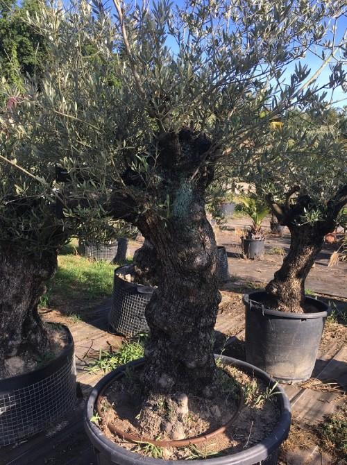 Oliviers en destockage / olivier pas cher olivier W
