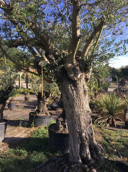 Oliviers en destockage / olivier pas cher olivier y