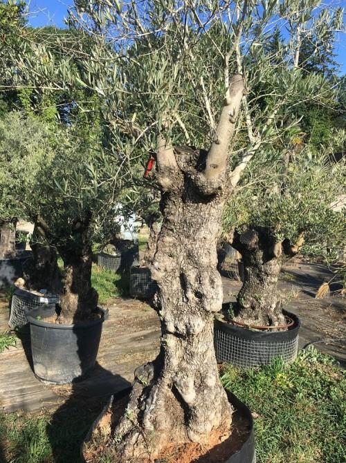 Oliviers en destockage / olivier pas cher olivier A1