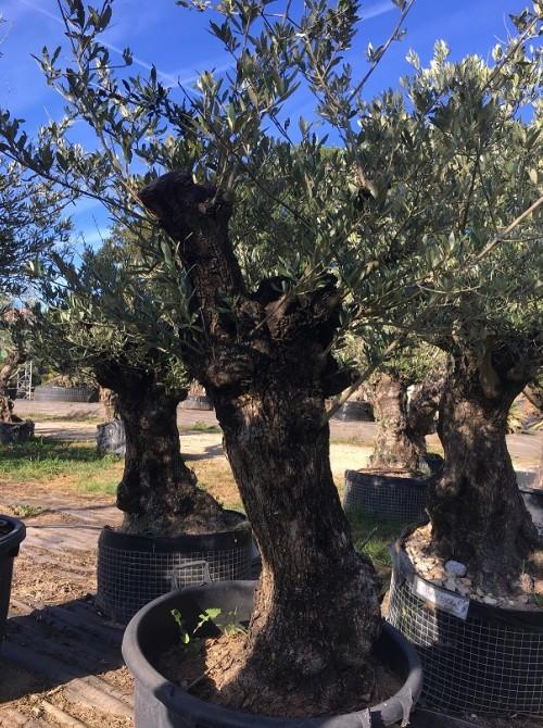 Oliviers en destockage / olivier pas cher olivier B2
