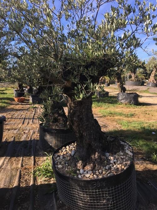 Oliviers en destockage / olivier pas cher olivier C2