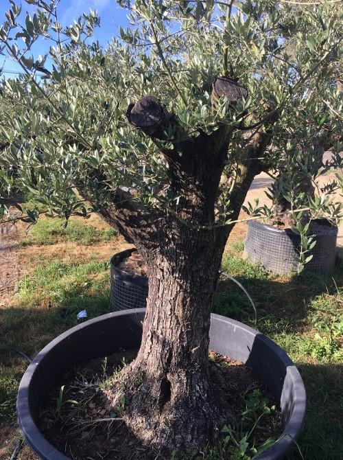 Oliviers en destockage / olivier pas cher olivier