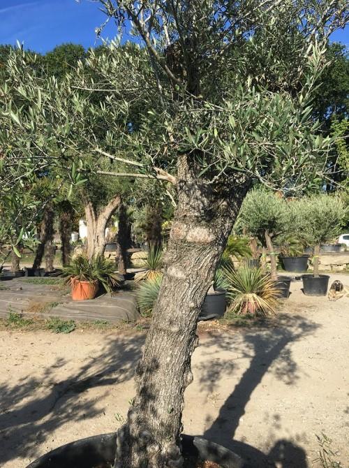 Oliviers en destockage / olivier pas cher olivier F2