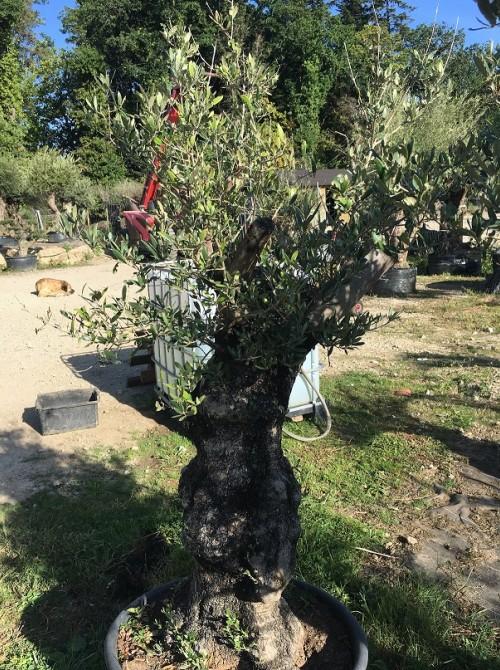 Oliviers en destockage / olivier pas cher olivier G2