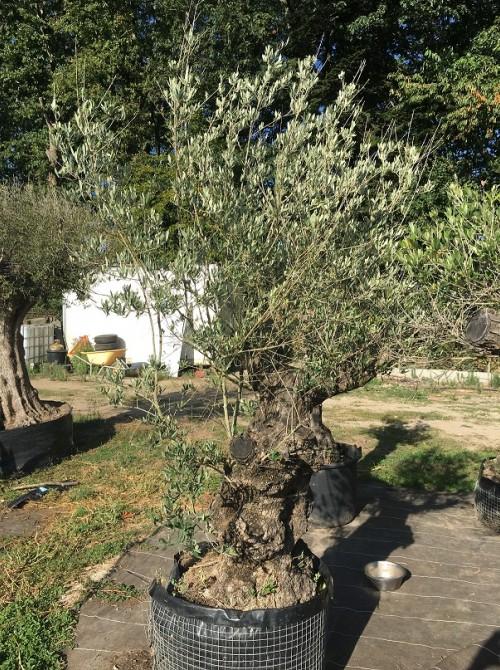 Oliviers en destockage / olivier pas cher olivier H2