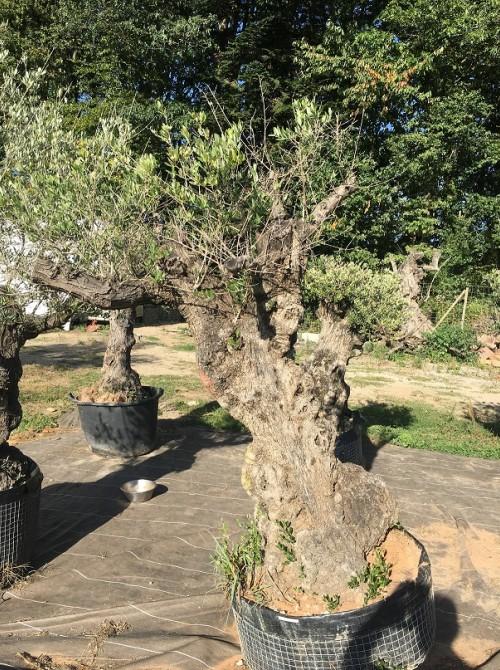 Oliviers en destockage / olivier pas cher olivier I2