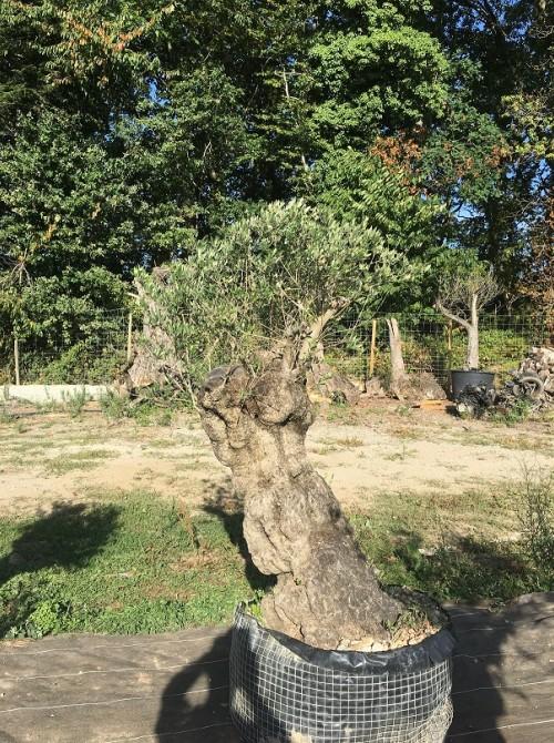 Oliviers en destockage / olivier pas cher olivier K2