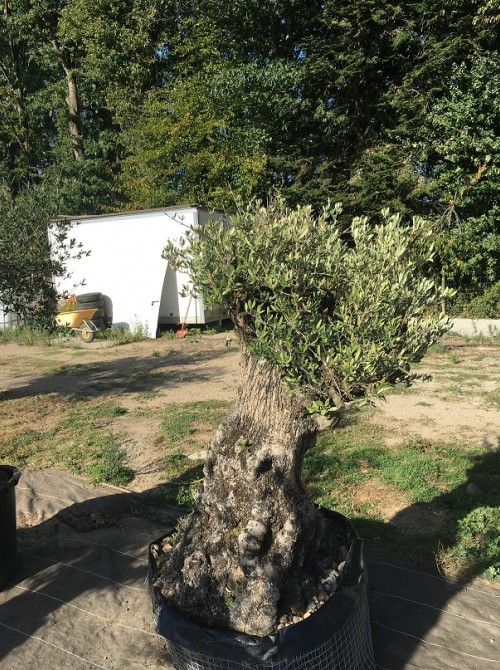 Oliviers en destockage / olivier pas cher olivier L 2