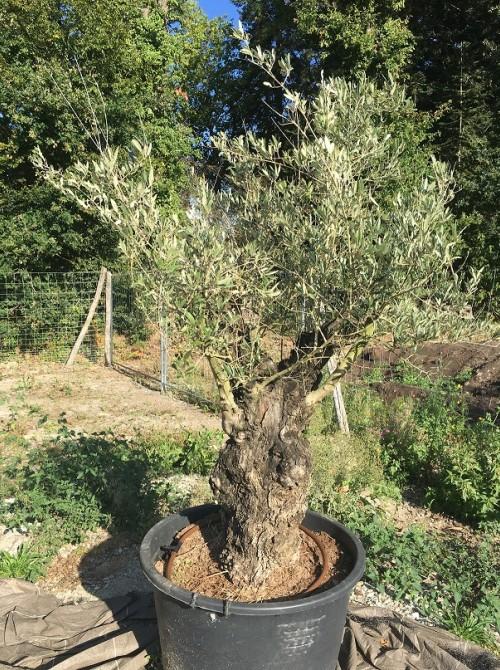 Oliviers en destockage / olivier pas cher olivier M2
