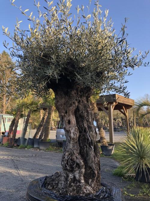 Olivier décoratif et d'ornement olivier 113