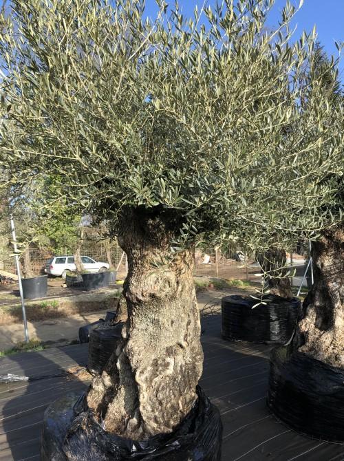 Oliviers Centenaires Traditionnels olivier  La Baule