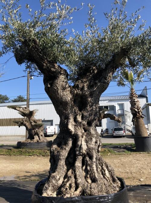 Oliviers Multi-centenaires & Millénaires oliviers centenaires brest