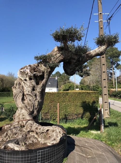 oliviers plateau ou olivier nuage niwaki olivier d'exception plateau paris