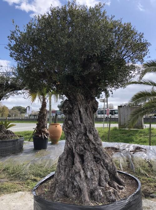 Oliviers Multi-centenaires & Millénaires olivier multicentenaire la baule