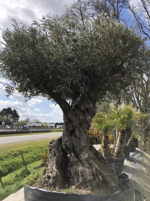 Oliviers Multi-centenaires & Millénaires olivier Lorient