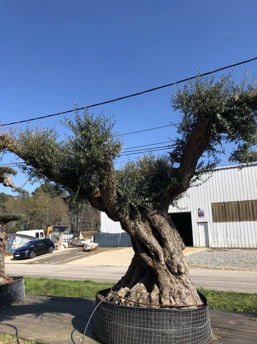 Oliviers Multi-centenaires & Millénaires olivier lechin 500 ans
