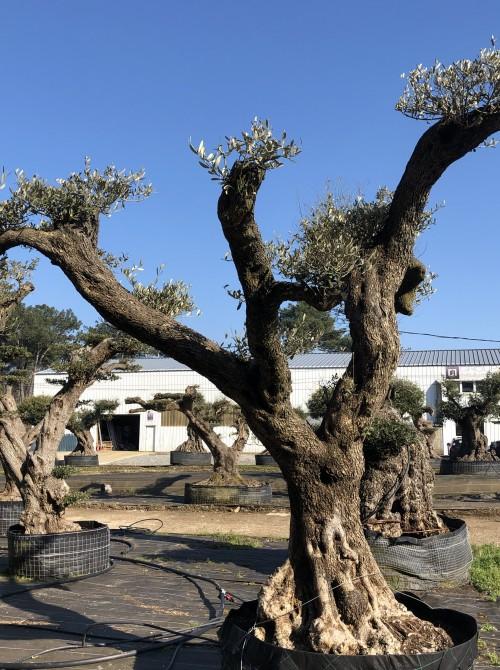 oliviers plateau ou olivier nuage niwaki Farga taille nuage