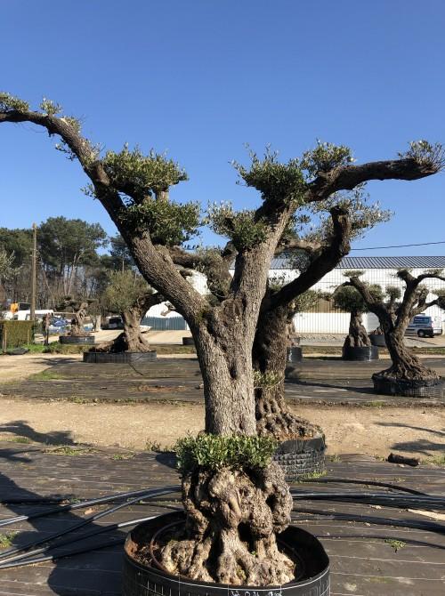 oliviers plateau ou olivier nuage niwaki olivier nuage