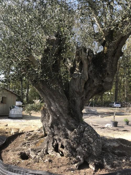 Olivier d'Exception et monumental olivier millénaire
