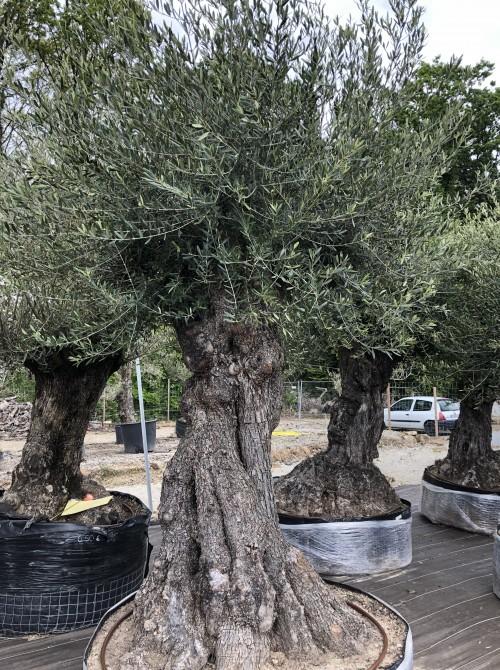 Olivier haute tige olivier 305