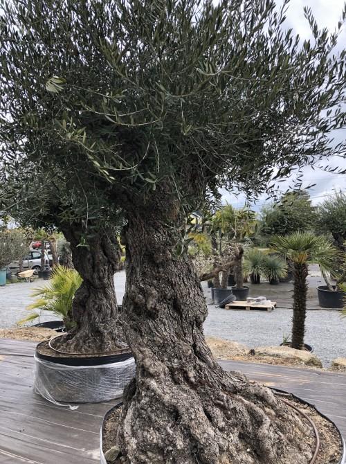 Oliviers Centenaires Traditionnels olivier  loire atlantique nantes
