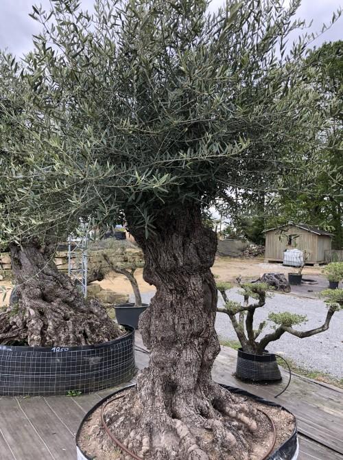 Olivier décoratif et d'ornement olivier vendée