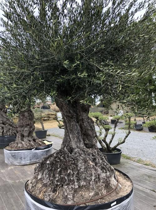 Olivier décoratif et d'ornement olivier Alsace