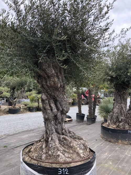 Olivier décoratif et d'ornement olivier Touraine