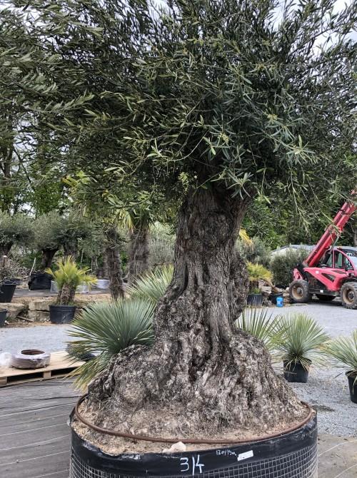 Olivier décoratif et d'ornement olivier Normandie