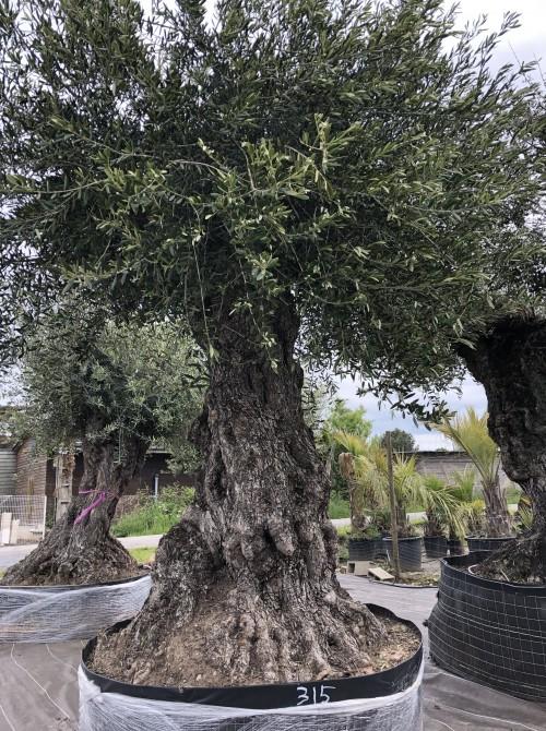 Olivier haute tige olivier spécimen