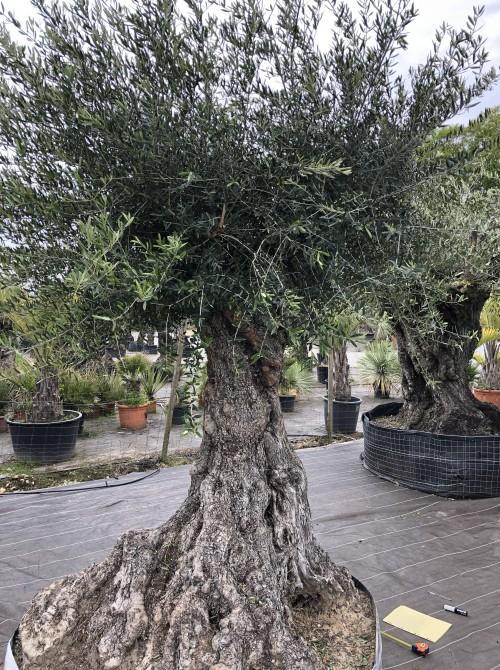 Oliviers Centenaires Traditionnels olivier Belgique