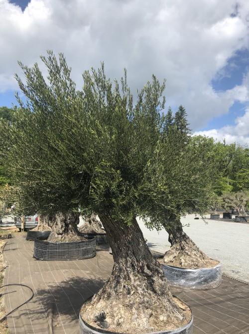 Olivier décoratif et d'ornement olivier 317