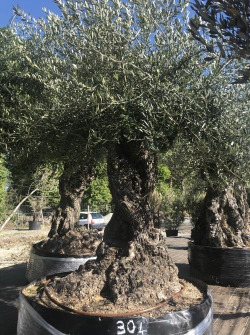 Olivier haute tige olivier 304