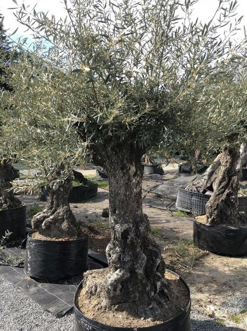 Olivier décoratif et d'ornement olivier 0002