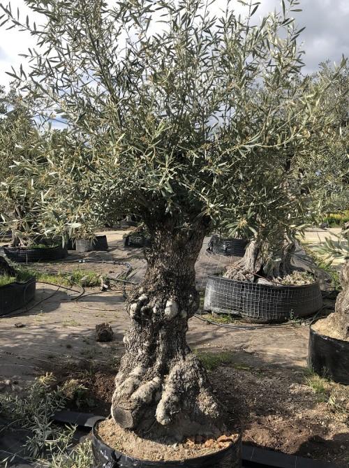 Olivier décoratif et d'ornement olivier 0003