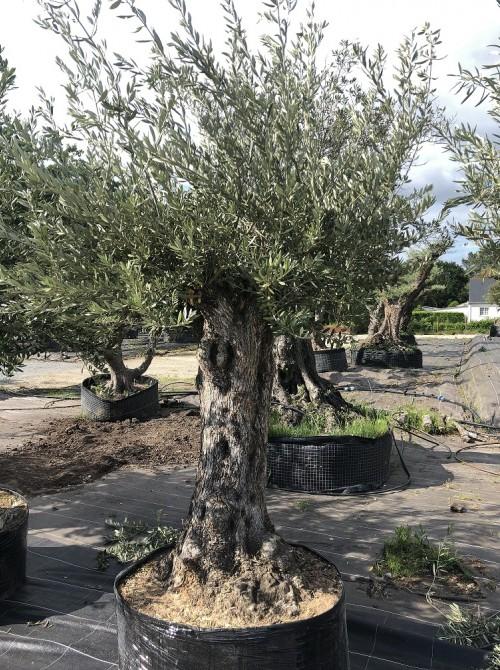Olivier décoratif et d'ornement olivier 0004